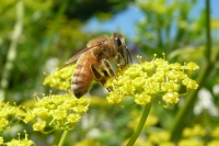 Pictures of Bees in your gardens