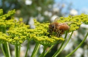 A worker bee on a parsnip flower