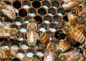 Spring Woes for beekeepers