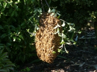 A swarm of bees hanging near ground level 2012